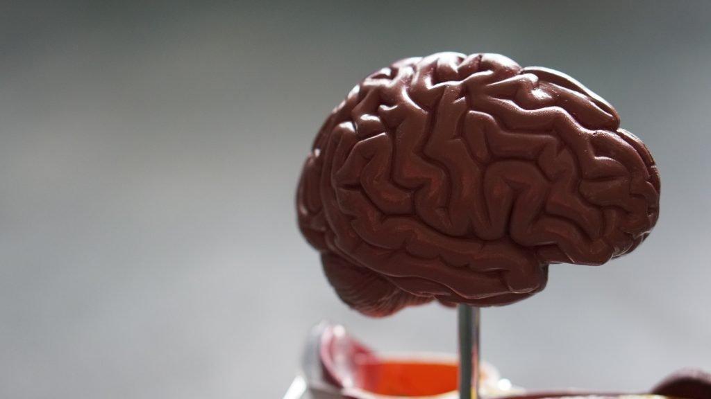 Plastic model of a human brain