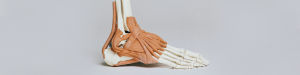Plastic Model of the Foot and Ankle